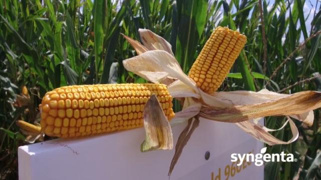 Hibridi Artesian stabilni i u sušnim sezonama