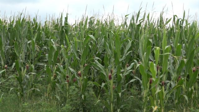 Najviše površina pod kukuruzom