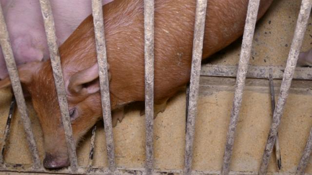 Afrička kuga svinja kuca na vrata