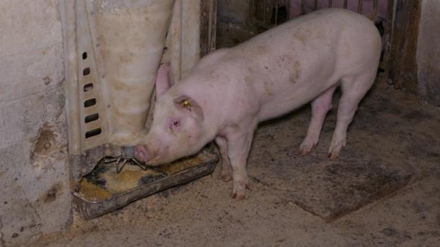 Za sada nema afričke kuge svinja u Srbiji