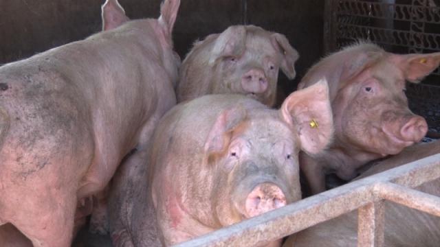 Dozvoljen odstrel divljih svinja zbog afričke kuge