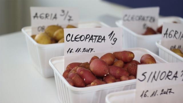 Odličan kvalitet domaćeg semenskog krompira