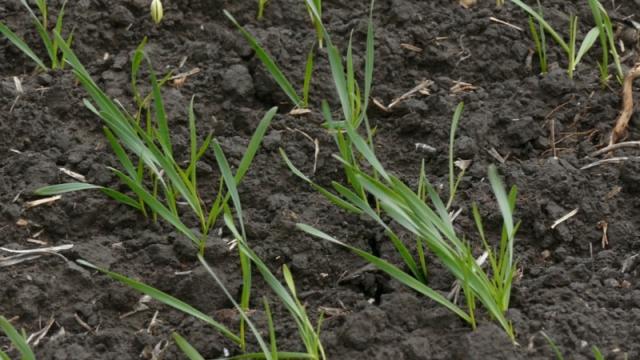 U kikindskom ataru pšenica tek u fazi bokorenja