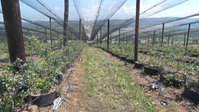 Šumadijske borovnice  već rezervisane