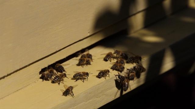 Zbog zdravlja pčela voćke treba prskati popodne