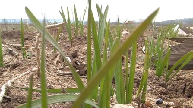 Padavine bi popravile stanje pšenice u Nišavskom okrugu