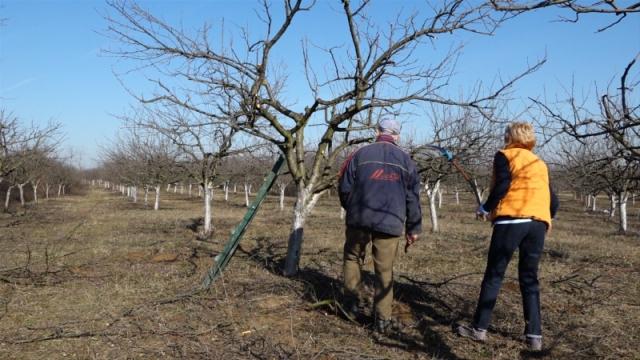Кljuč uspeha za bolji prinos voća - pravilna i redovna rezidba