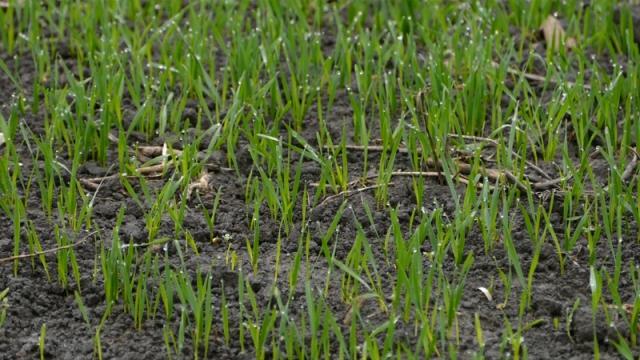 Pesimističke prognoze o ovogodišnjim prinosima pšenice