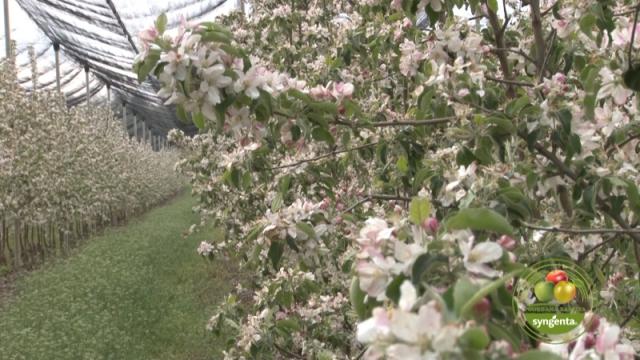 Za prve tretmane u zasadima jabuke Syngenta ima pouzdano rešenje