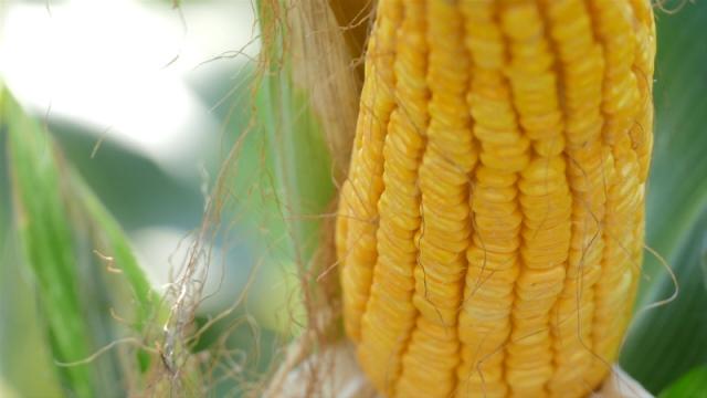 Stagnacija cena soje i kukuruza