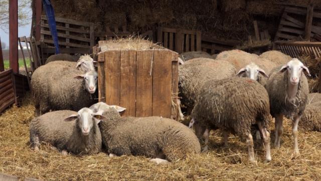 Osetno raste broj ovaca u Srbiji