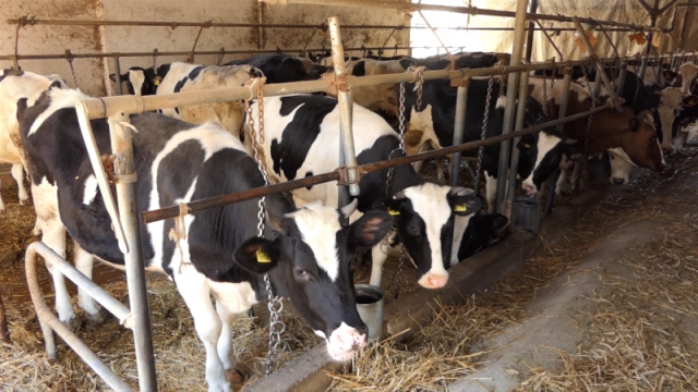 Mlečno govedarstvo u Srbiji u ozbiljnoj krizi