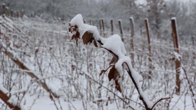 Sneg polomio mlade izdanke malina