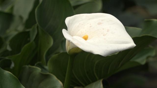 Bele i ljubičaste kale iz Zablaća