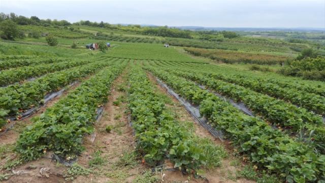 Kiša pokvarila planove proizvođačima jagode