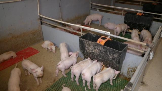 Tokom leta svinjski but bi mogao da košta od 500 do 520 dinara