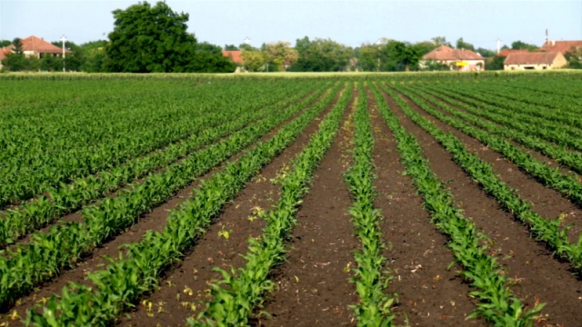 Кukuruz zauzeo oko 970.000 hektara
