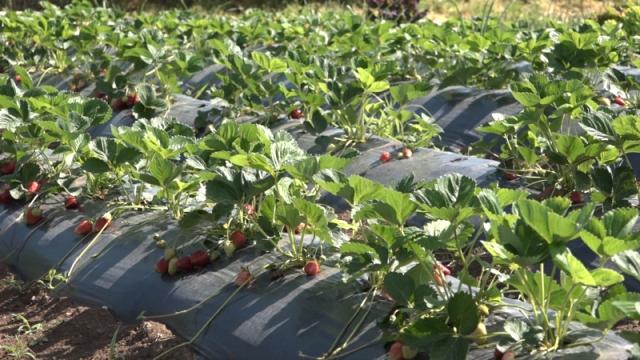 Padavine i niske temperature uticaće na rod voća i povrća