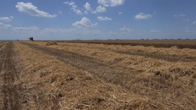 Pšenica odolela lošim vremenskim prilikama