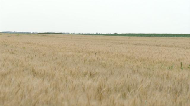 U odnosu na desetogodišnji prosek proizvodnja pšenice manja za   4,8 %