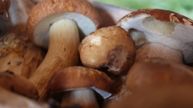 Sakuplanje gljiva isplativije od berbe voća