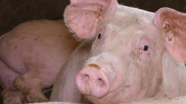 Srbija otvara nova tržišta za izvoz mesa