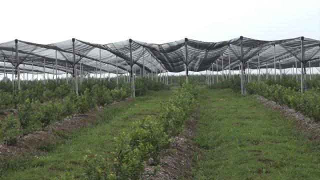 U Pomoravlju plantaže malina, borovnica i lešnika