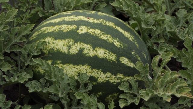 Dnevno se ubere na stotine tona lubenica