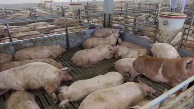 Apel vlasnicima svinja da sva uginuća i sumnje odmah prijave