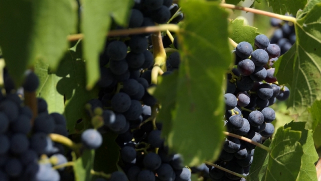 Riđički vinogradari insistiraju na kvalitetu