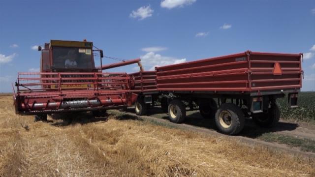 U Pomoravlju požnjevena polovina od 15.000 hektara pod pšenicom
