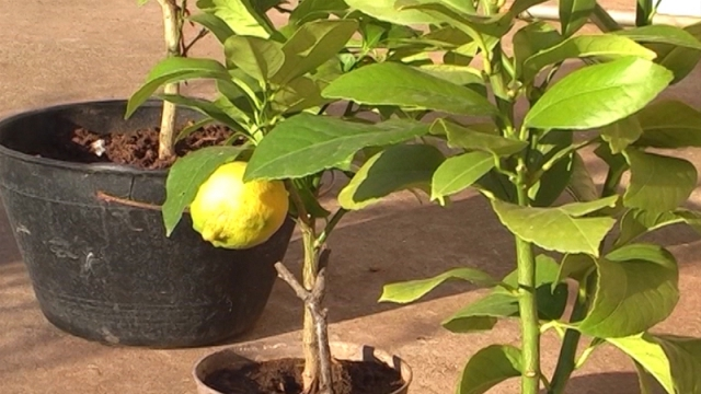 Tropsko voće u okolini Čačka