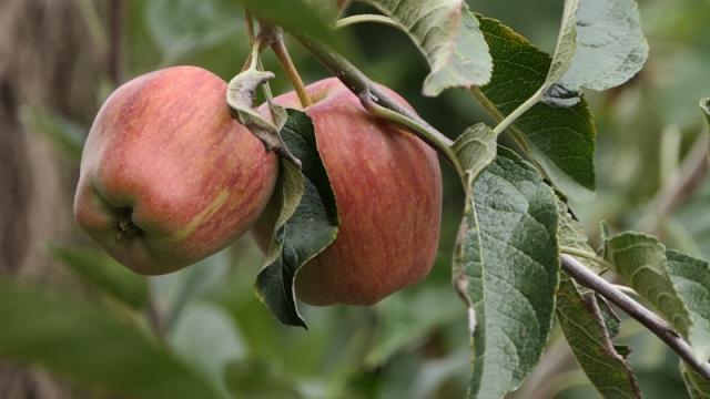 Cena određuje sudbinu zasada jabuke