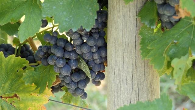 Grožđe i vino - obeležje Vršca