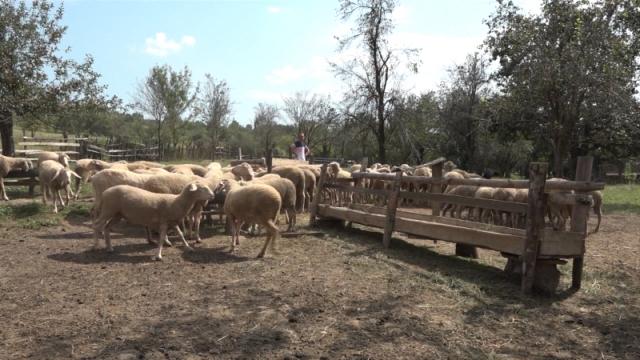 Pašnjački sistem ovčarenja