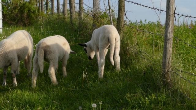 Podsticaj od 7.000 dinara po grlu za ovčare izuzetno značajan