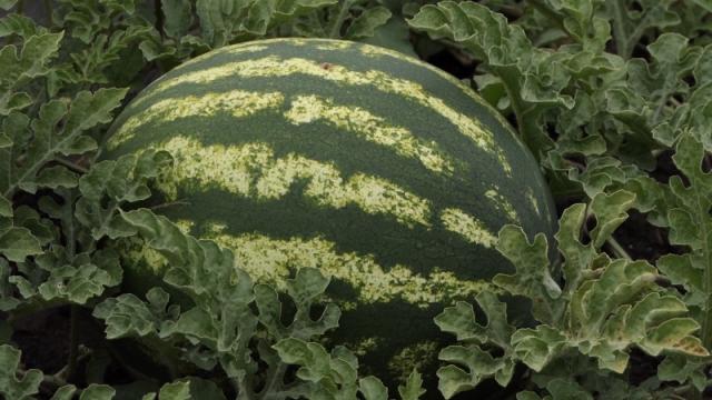 Ovog leta slabiji rod, ali odličan kvalitet lubenica