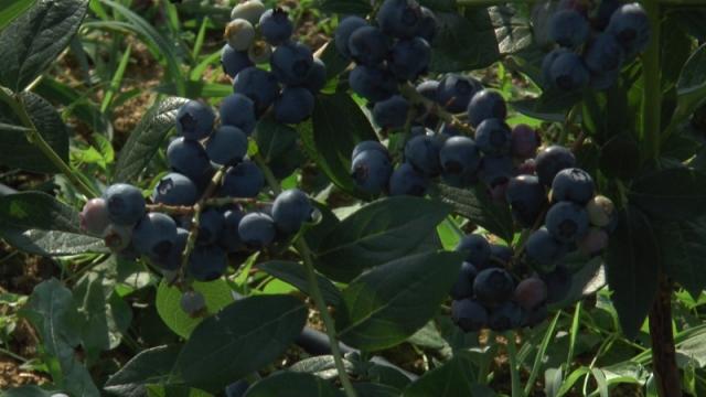 Bobičasto voće koje privlači sve više proizvođača