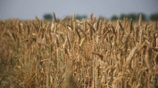 Pšenica za sve terene