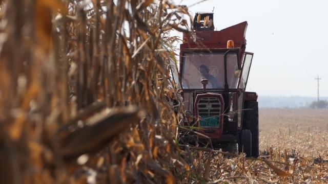 Dobra godina za kukuruz