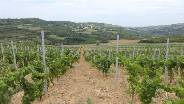 Organski uzgojeno grožđe za dobijanje vrhunskih vina