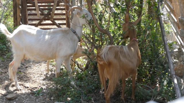 Koze na stenovitom mediteranskom terenu
