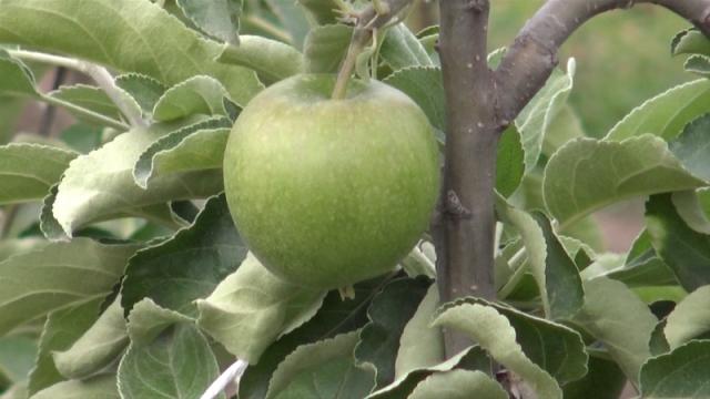 U novembru izvoz prvog kontigenta jabuka