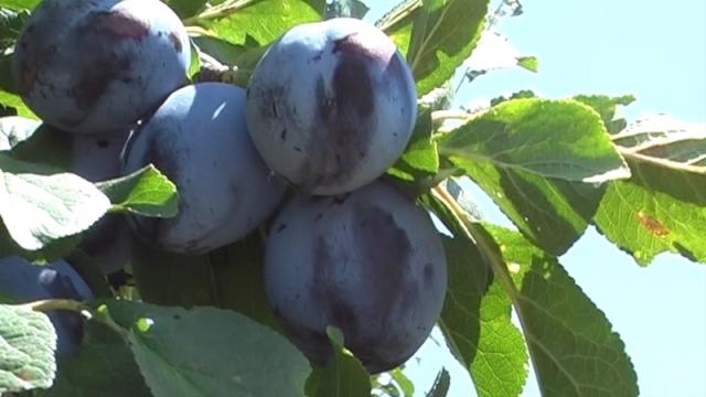 U selu Hum priželjkuju pogon za preradu voća