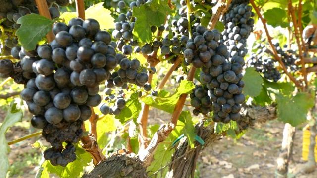 Prokupac zahtevan za uzgoj, ali daje prvoklasno vino