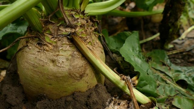Proizvodnja šećerne repe nacionalni interes