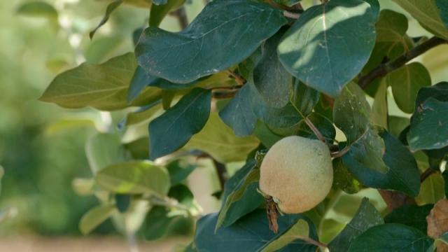 Dunja veoma isplativa voćna vrsta