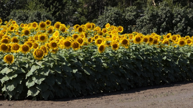 Klimatske promene povećavaju proizvodnju suncokreta