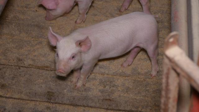 Sredinom narednog meseca ukidanje vakcinacije protiv klasične svinjske kuge