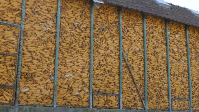 Otkupljuje se merkantilni kukuruz domaćeg porekla